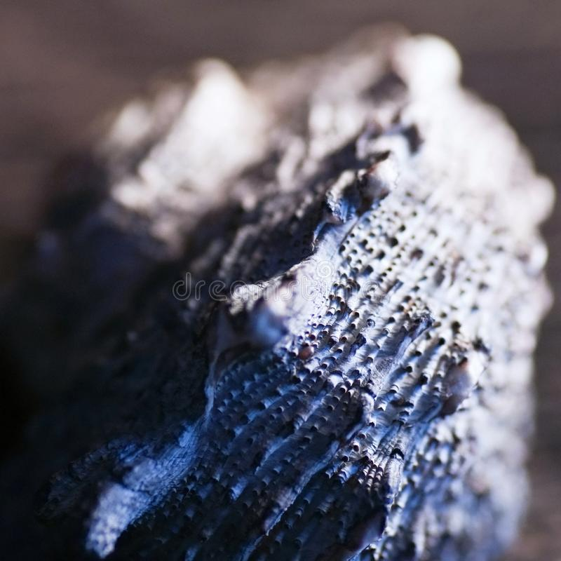 Blue shell macro. Blue spiral calcareous cavity seashell macro royalty free stock image