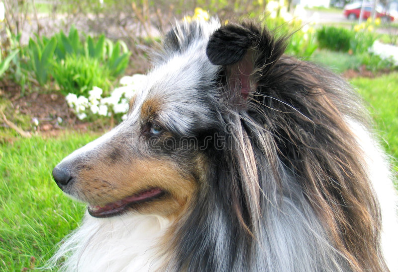 Download Blue Sheltie 3 Royalty Free Stock Images - Image: 182229
