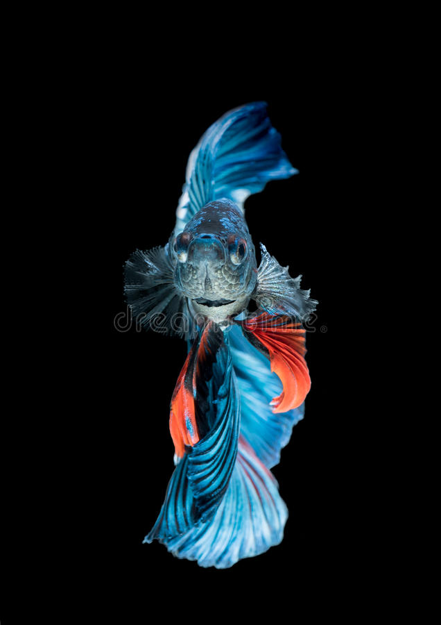 Blue siamese fighting fish, betta splendens isolated royalty free stock images