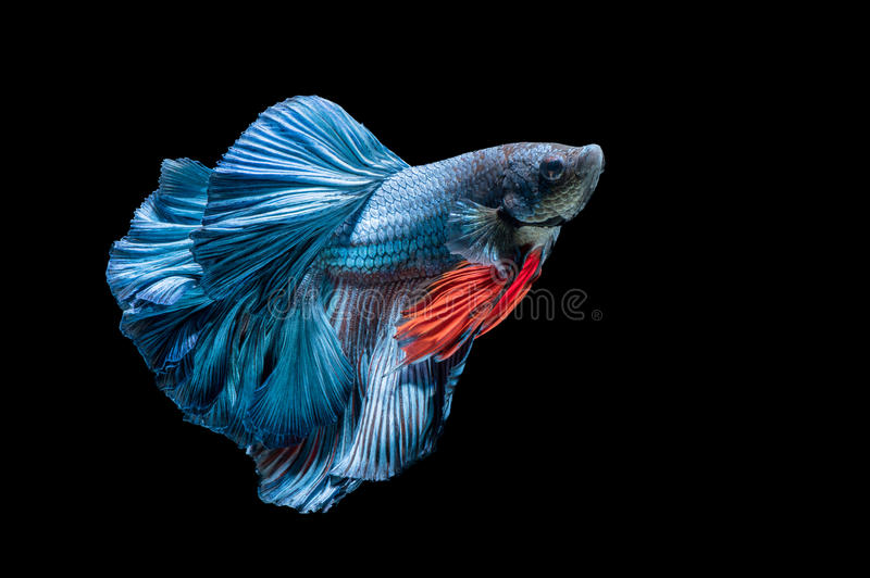 Blue siamese fighting fish, betta splendens isolated stock photo