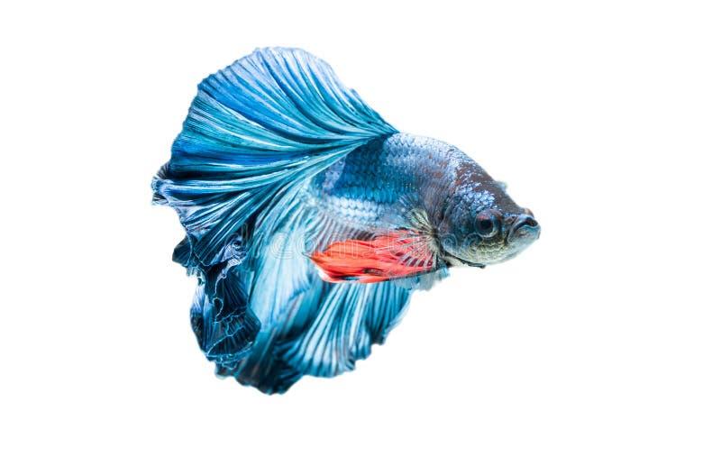 Blue siamese fighting fish, betta splendens. stock images