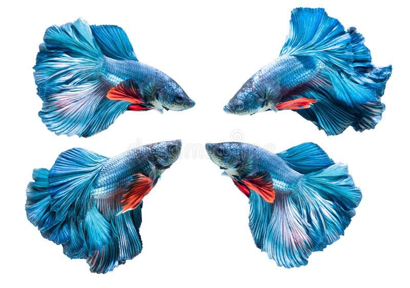 Blue siamese fighting fish, betta splendens isolated stock photography