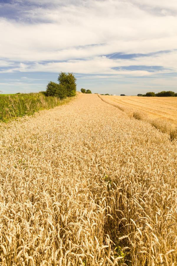 Download Blue Skies Over Corn Fields In England Stock Image - Image: 26937155