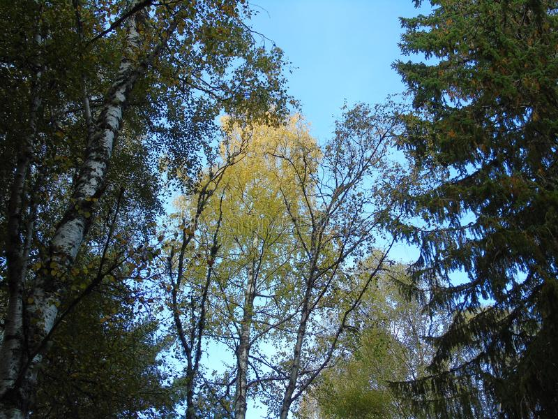 Blue skies show through the woodland canopy as the sun shines on the leaves. Blue skies show woodland canopy sun shines leaves royalty free stock image