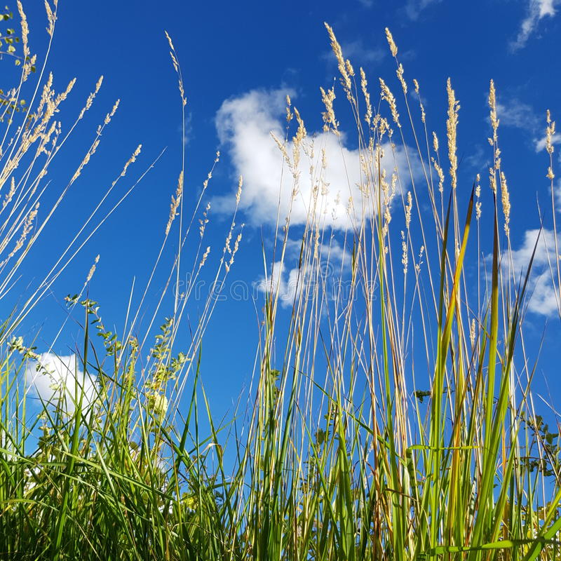 Blue skies and weeds royalty free stock image