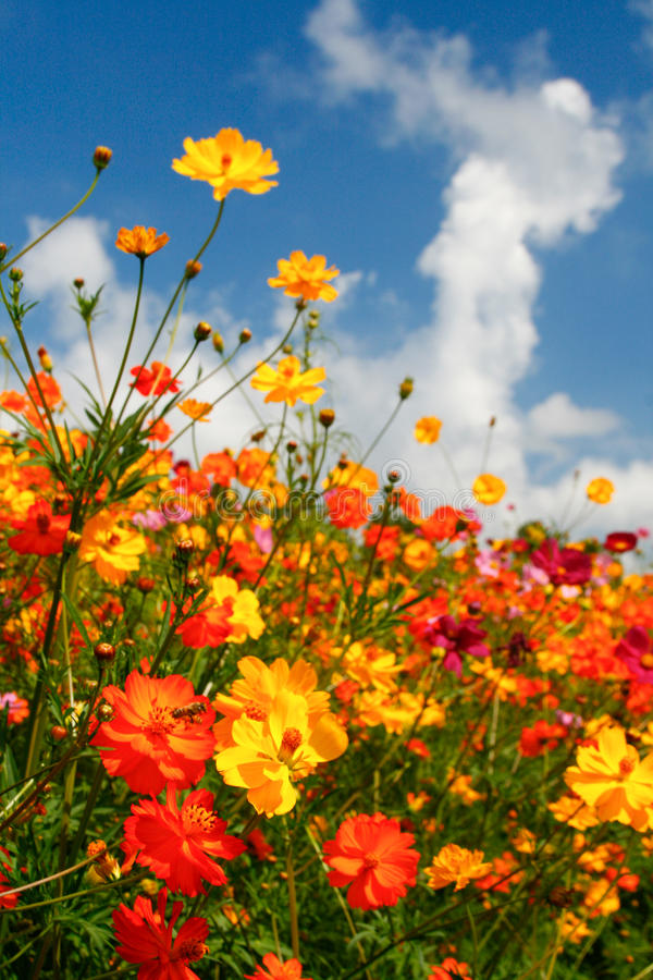 Blue Skies, White Clouds and Brilliant Wildflowers royalty free stock photos