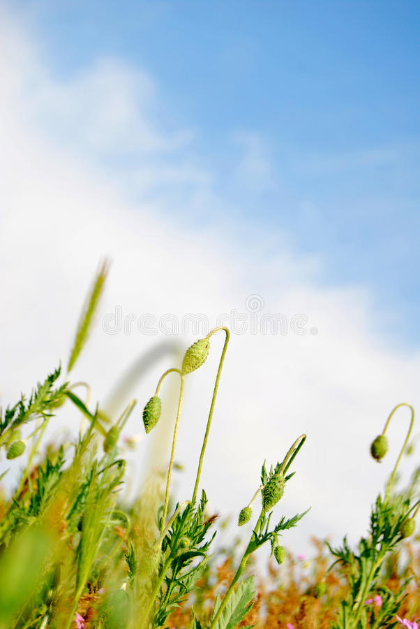 Free BLUE SKY And POPPY Stock Photography - 15040992