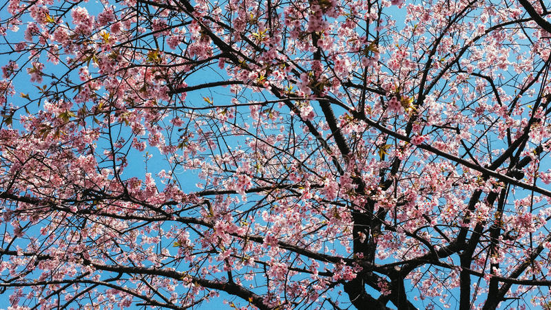 Blue sky ang many pink flowers. Ueno , Japan stock photography