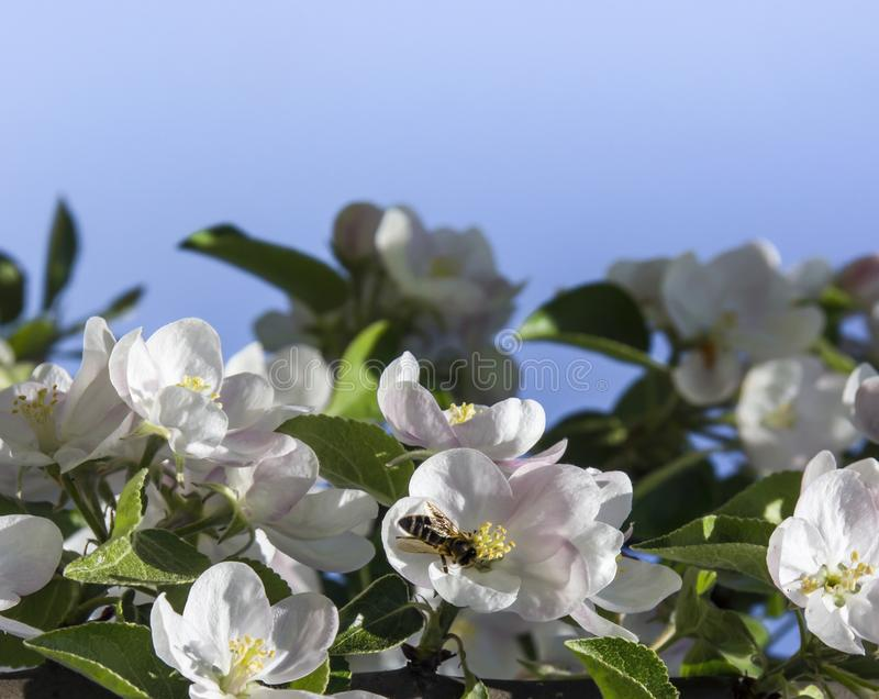 On a blue sky background a branch of an apple tree with flowers and leaves sits a bee copy space royalty free stock photography