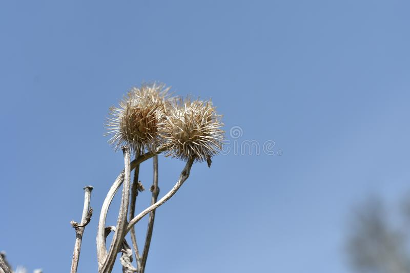 Dry burdock in the blue sky wriggles beautiful thorn. On a blue sky background, I saw the thorn look of the modest beauty of Siberian nature stock images