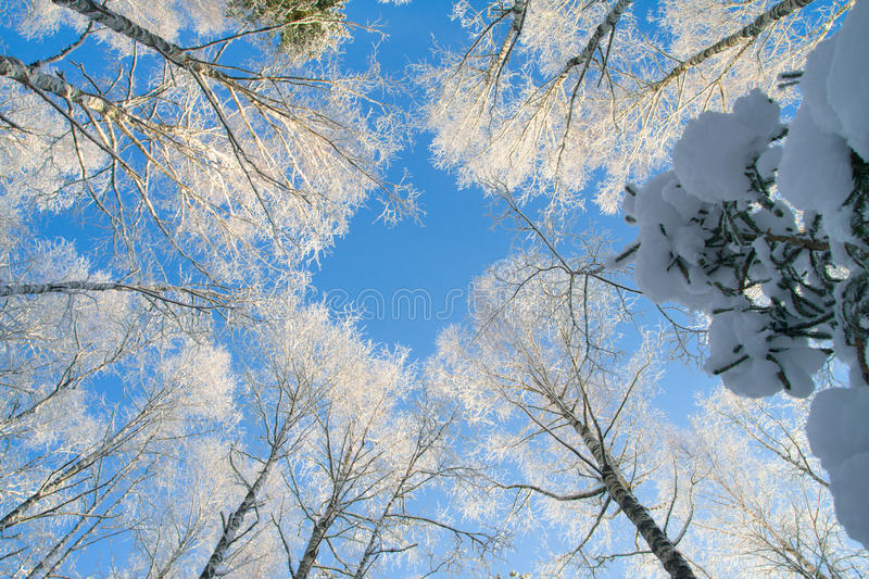 Blue sky in beautiful winter forest royalty free stock photo