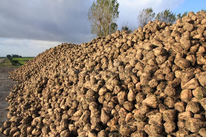 Blue sky with clouds and many sugar beets on a heap. stock photo