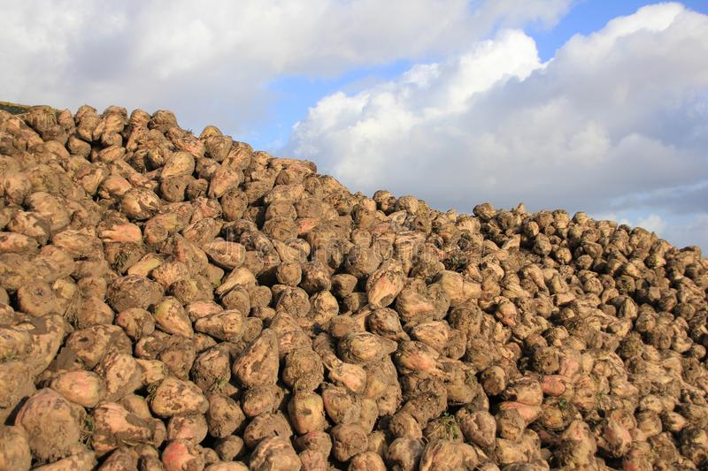Many sugar beets on a heap. royalty free stock images
