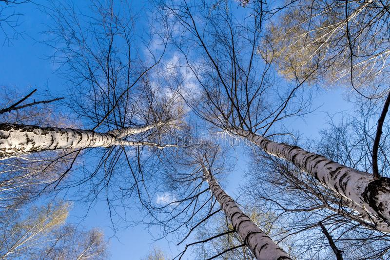 Blue sky with clouds between the tops of birch trees royalty free stock images