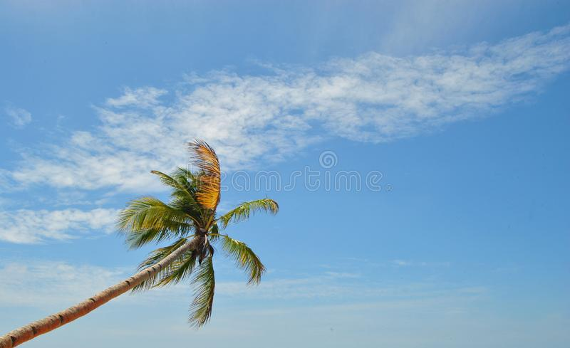 Blue sky and The Coconut Tree royalty free stock images