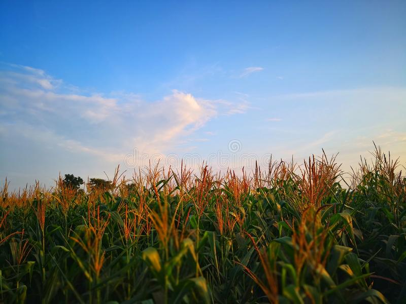 Blue sky from corn fields with rural scenery. Abundance of tassel and pollen are growing. Harvest season is coming soon. There are sweet and high density for stock photography