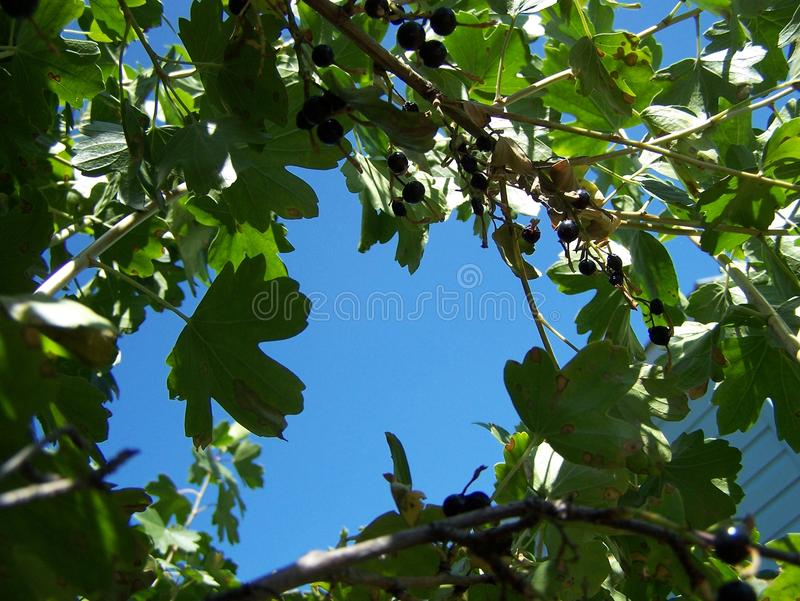 Blue sky through current bush stock photo