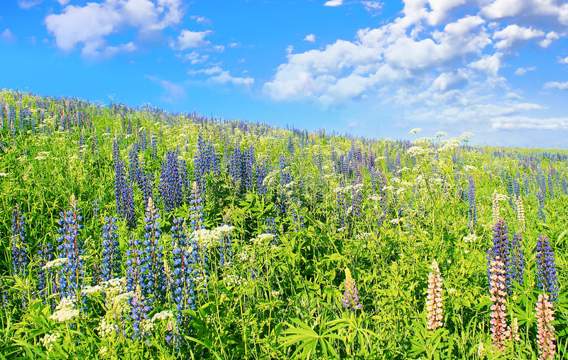 Download Blue Sky, Dark-blue Flowers. Stock Photo - Image: 5767826