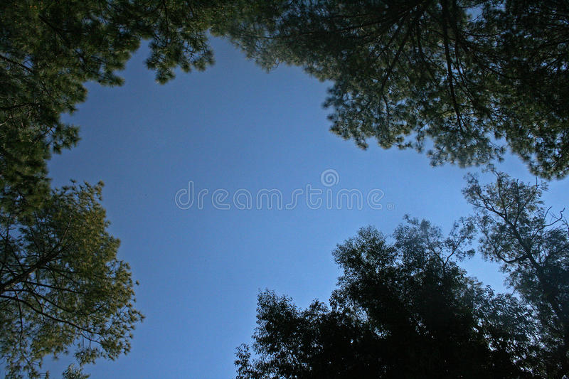 BLUE SKY FRAMED BY THE TOPS OF TREES. Upward view of tree tops against a blue sky royalty free stock photo
