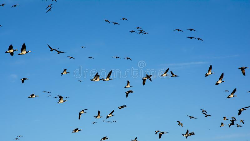 Blue sky full of geese in flight - Branta canadensis. Blue sky full of canada geese, flying in different directions, view from below stock images