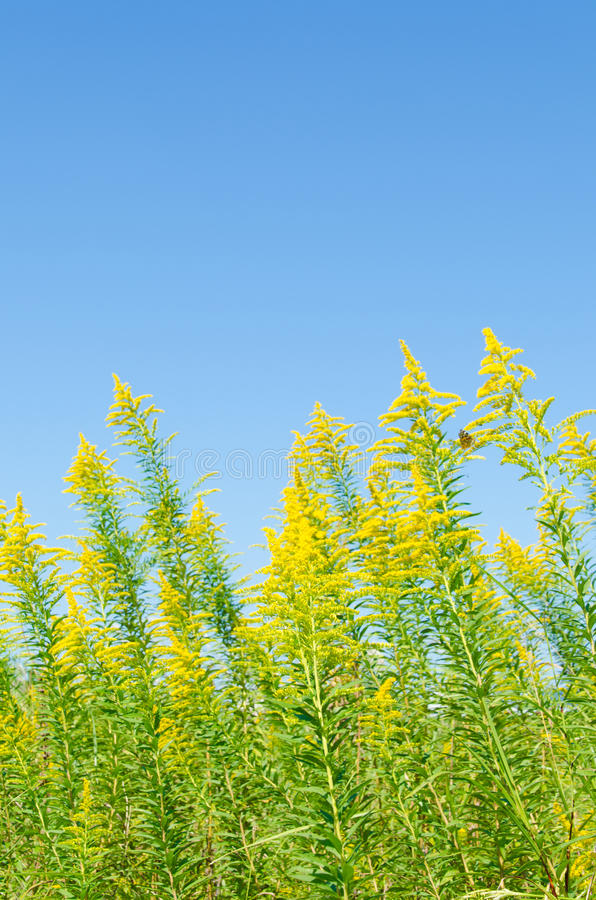 Blue sky and goldenrod