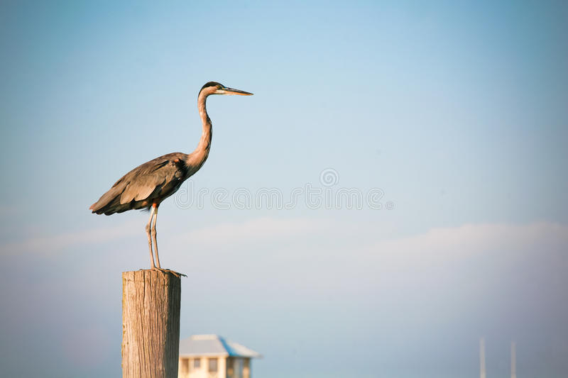 Download Blue Sky And Great Blue Heron Stock Photo - Image: 21209742