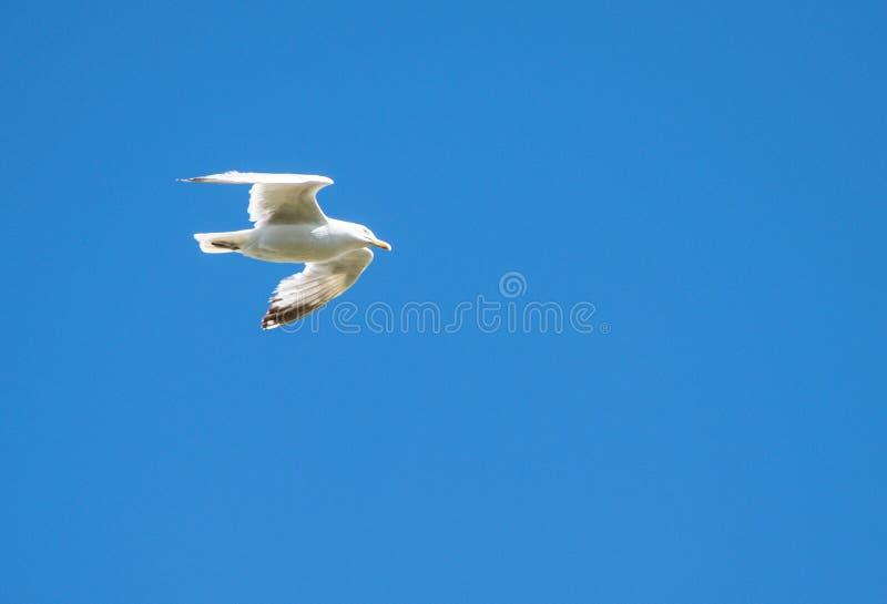 Blue sky herring gull. A herring gull flying in a deep blue sky royalty free stock image
