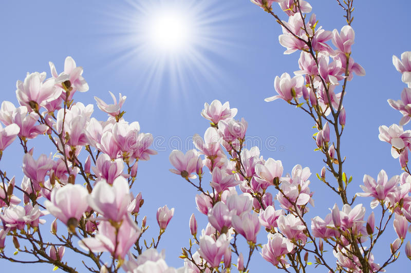 Download Blue Sky With Magnolia Blossom Stock Photo - Image of cherry, sunny: 39504476