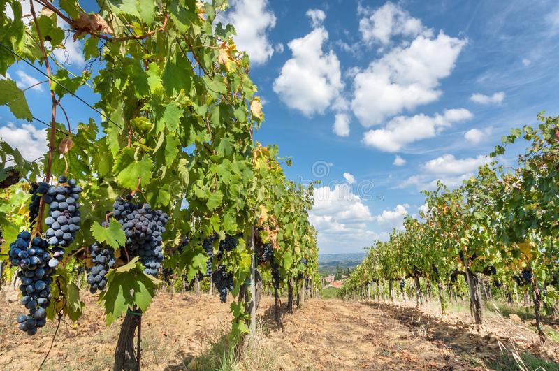 Blue sky over grapevine in wineyard. Colorful landscape in Italy. Vineyard rows at Tuscany sun royalty free stock image