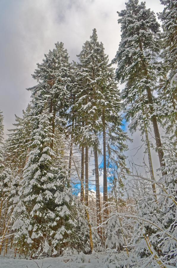 Blue sky over winter forest in Harz mountains national park. Blue sky over forest in a winter, Harz mountains national park, Germany royalty free stock images