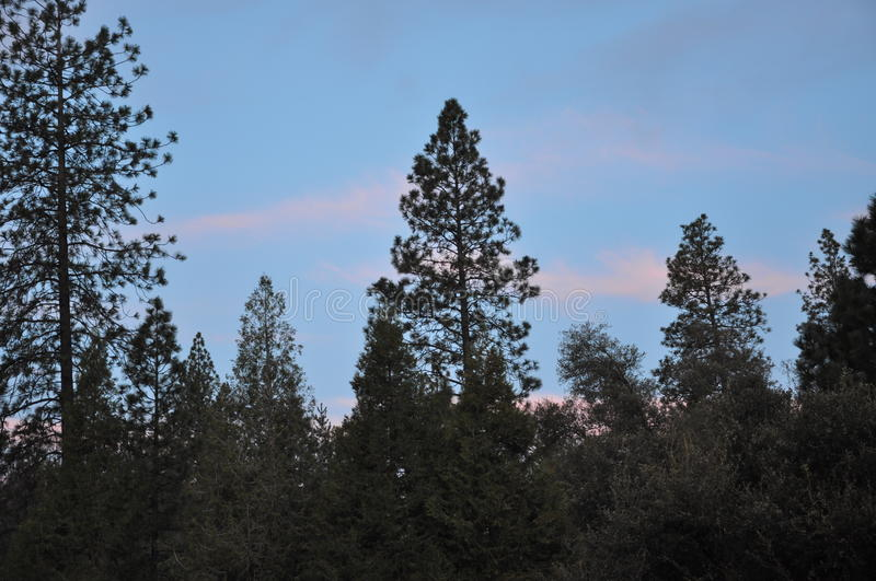 Blue Sky Through the Pine Trees royalty free stock image