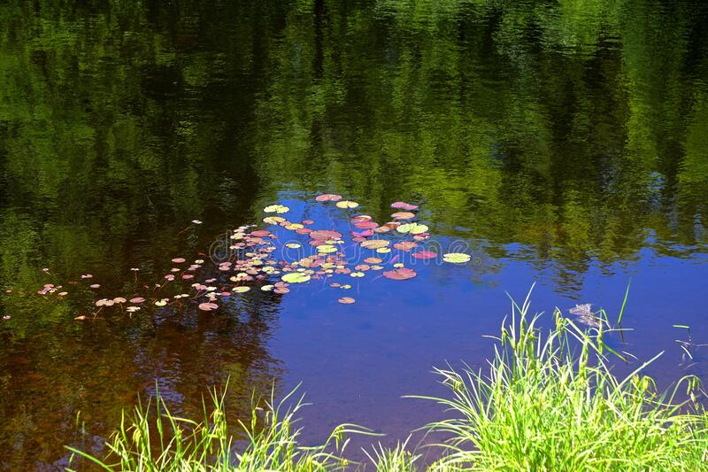 Blue sky reflected in a pond with red and yellow lily pads royalty free stock photo