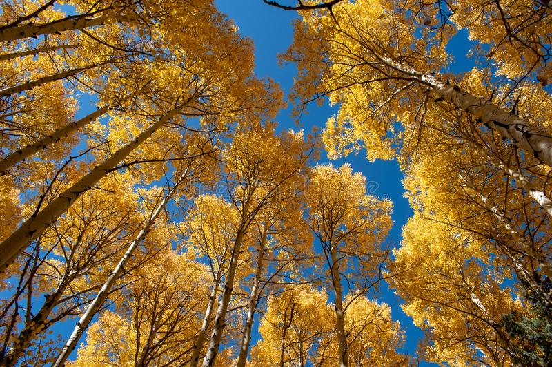 Golden aspen trees in the fall royalty free stock photography