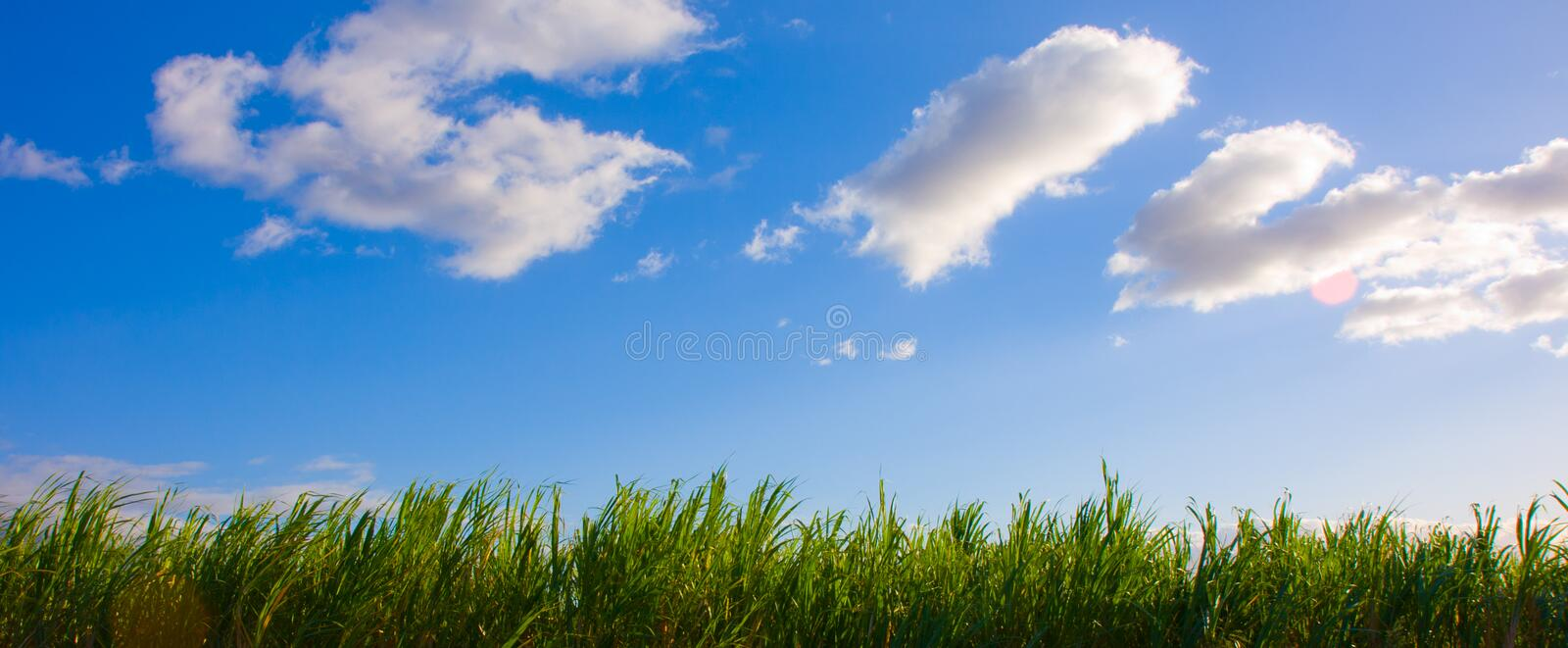 Blue Sky and Sugar Cane. Blue sky with some clouds over a Sugar Cane field -Maui, Hawaii royalty free stock images