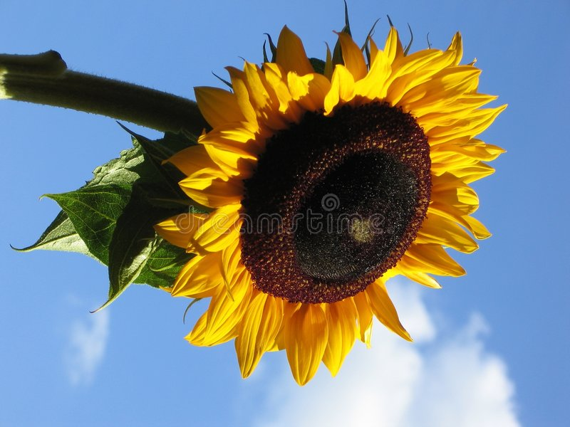 Blue Sky Sunflower stock image