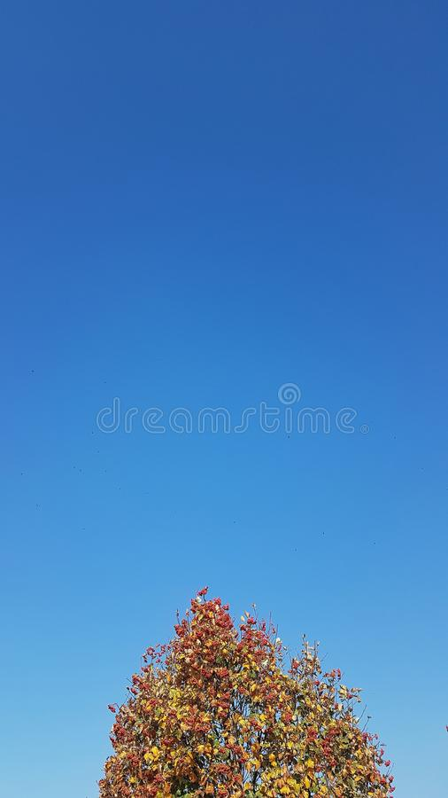 Blue sky with the top of rowan tree with red and orange leaves. Autumn background royalty free stock image