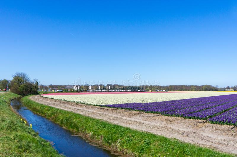Blue sky and tulip field landscape, traditional dutch, Netherlands, Europe.  royalty free stock photo