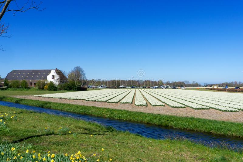 Blue sky and tulip field landscape, traditional dutch, Netherlands, Europe.  royalty free stock images