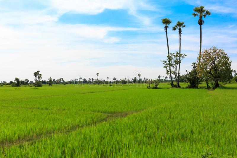 Blue Sky over Green Paddy Field Makes It a Beautiful Landscape stock photography