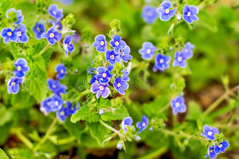 Blue small flowers of forget-me-baby on a green plant background_. Blue small flowers of forget-me-baby on a green plant background stock image