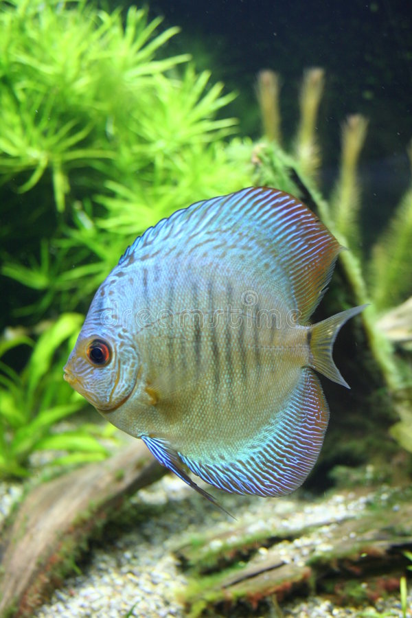 Blue Snakeskin Discus Fish stock images