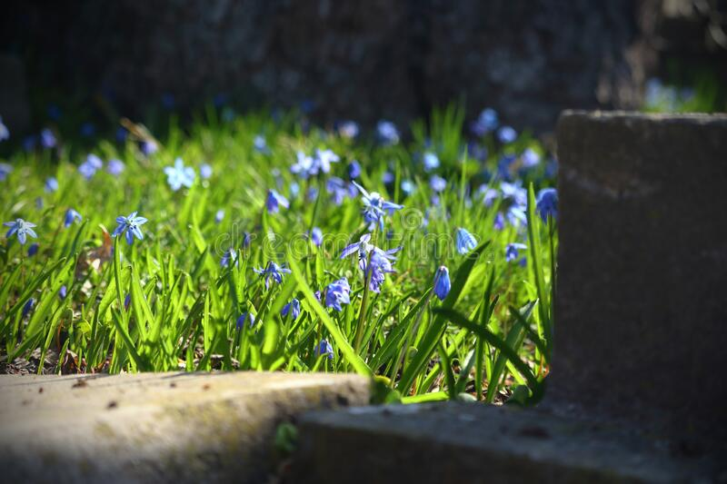 Blue snowdrop flowers in green grass in spring. Behind concrete stairs royalty free stock image