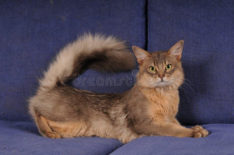 Download Blue Somali Male Cat Portrait Stock Photo - Image: 25558912