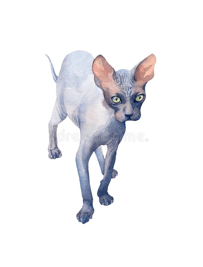 Blue Sphynx Cat with green eyes attentive looking into the distance. Watercolor illustration. Blue Sphynx Cat with green eyes attentive looking into the vector illustration