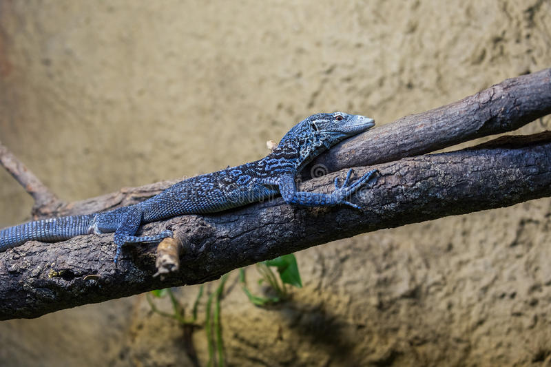 Blue spiny lizard on the branch. Blue spiny lizard lying on the branch royalty free stock images