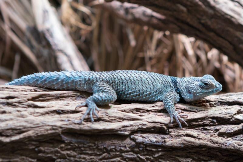 Blue spiny lizard Sceloporus serrifer cyanogenys stock images