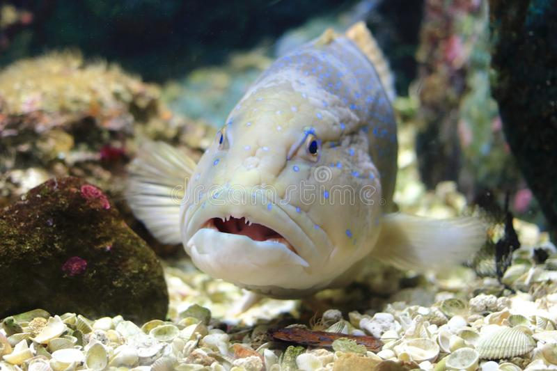 Blue spotted grouper stock photo