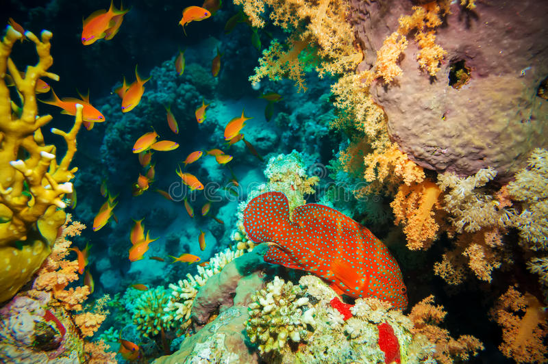 Blue-spotted grouper and tropical Anthias fish royalty free stock photography