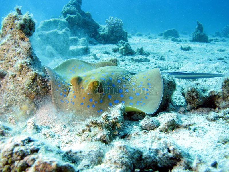 Download Blue Spotted Ray stock image. Image of reef, water, underwater - 6701317