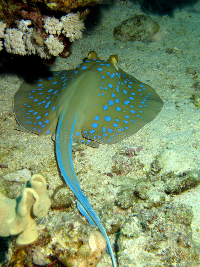 Free Blue Spotted Ray Resting Royalty Free Stock Image - 4825056